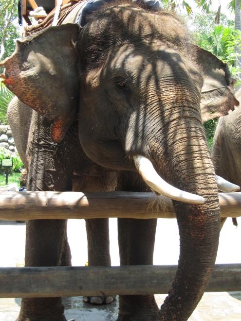 "Our ride, a Sumatran elephant named Budy. We asked the handler if he rode Budy every day and he said ""Of course. One elephant, one trainer."""