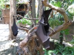 The Bali Zoo: bats hanging out.