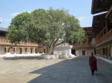 A bodhi tree in the Punakha Dzong.