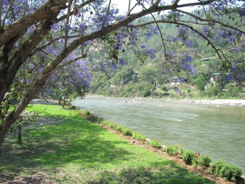 Jacaranda trees along the river.